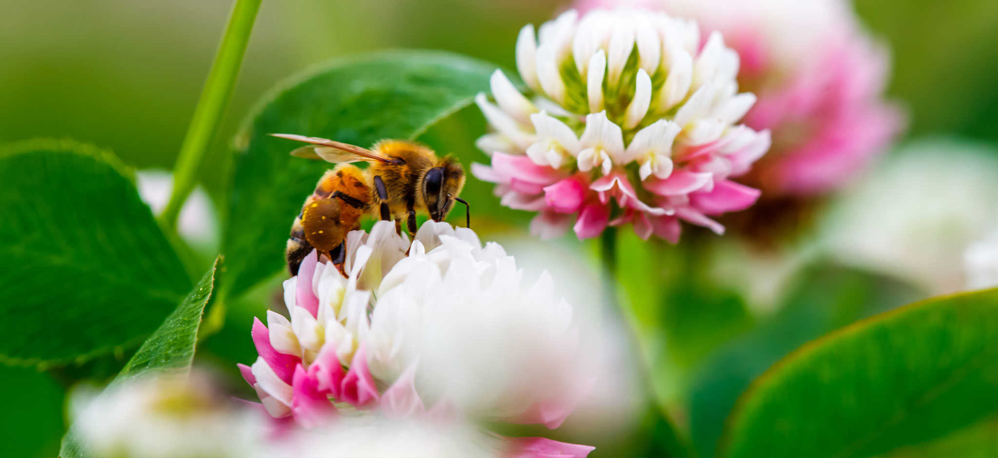 Image of a bee pollinating a colourful flower