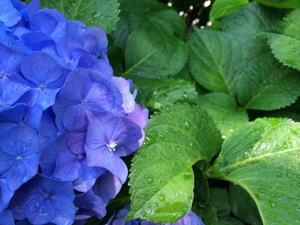 watered viola plant