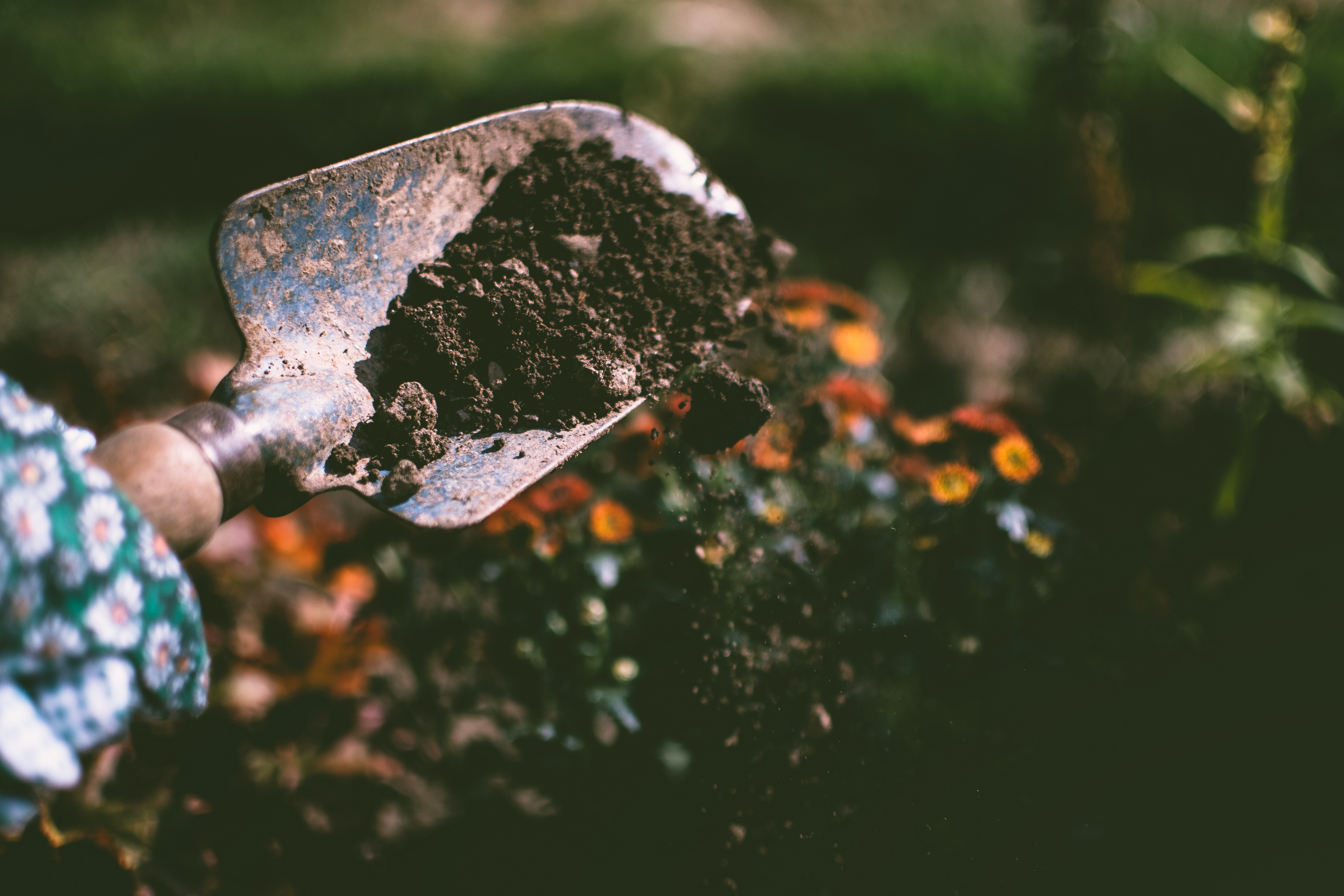 Close up image of a garden shovel holding dark soil with a blurred garden background